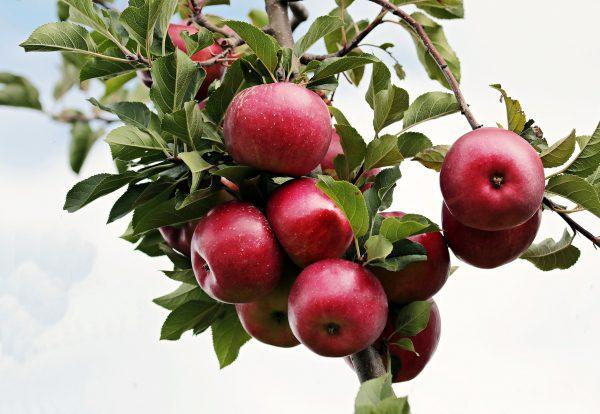 apple-2788599_1920